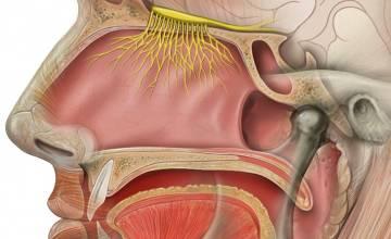 Covid-19: l'étude européenne coordonnée à l'UMONS confirme la perte soudaine du goût et de l'odorat comme symptômes importants de l'infection au virus