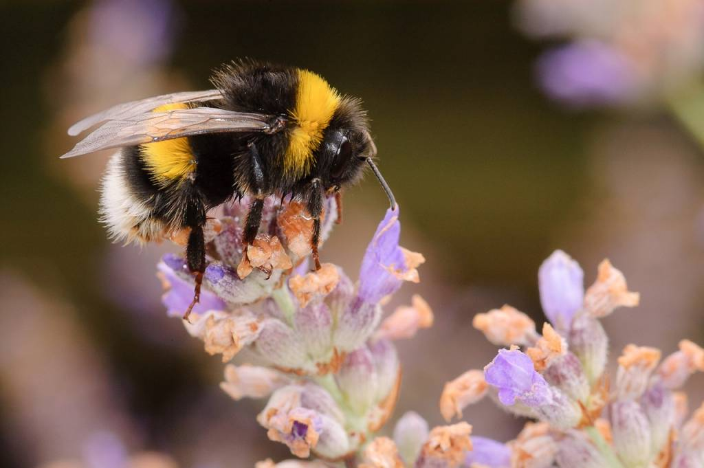 ULB-UMONS Study Explains the Influence of Nectar Sweetness on Bees' Foraging Ability