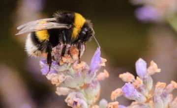Une étude ULB-UMONS explique l'influence de la sucrosité du nectar sur la capacité des abeilles à butiner